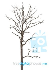dead-and-dry-tree-is-isolated-on-white-background-100141279